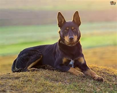 Kelpie Australian Dog Dogs Puppy Breeds Working