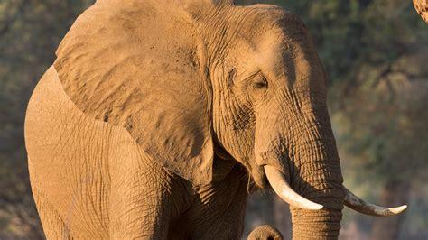 simbabwe jaeger aus deutschland erlegt legendaeren elefanten