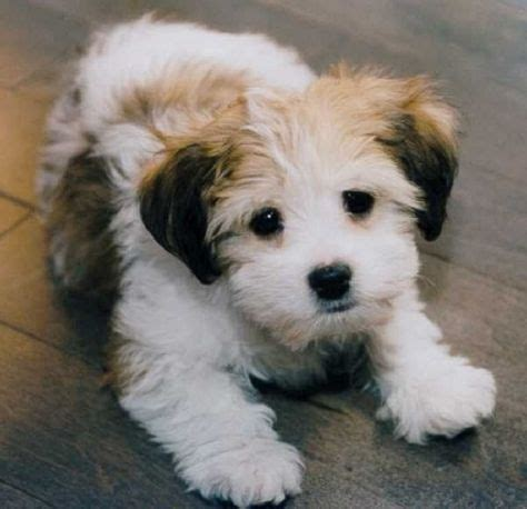 Small Dog Mixed Breeds That Don't Shed  Tap The Pin For