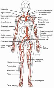 File 2120 Major Systemic Artery Jpg