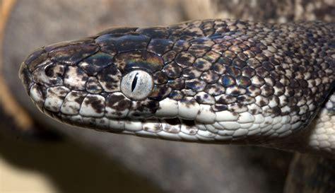 Savu python | Liasis mackloti savuensis, Knoxville Zoo ...