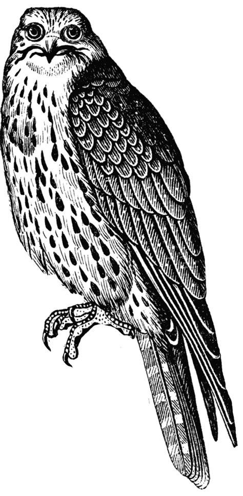 sultan falcon clipart