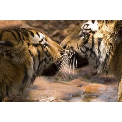 Animal Zoo Life: bengal tiger Bengal factsbengal