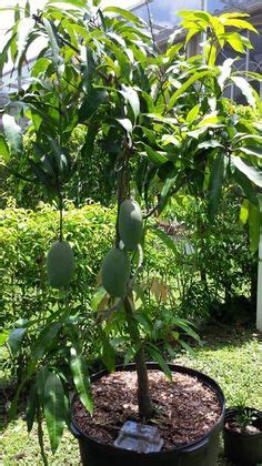 cogshall mango growing tropical fruit  containers