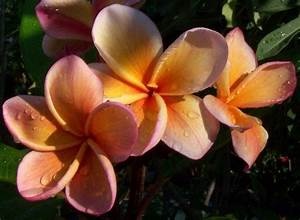 18 best images about Plumeria Flowers on Pinterest ...