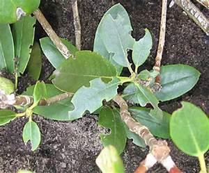 Rhododendron Blüten Schneiden : rhododendron und azaleen rhododendron pflanzen pflegen schneiden krankheiten arkadia ~ A.2002-acura-tl-radio.info Haus und Dekorationen