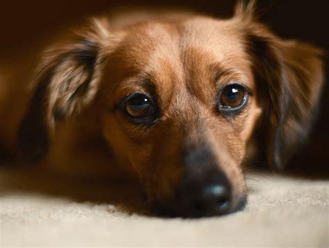 chiweenie  tiny chihuahua dachshund mix