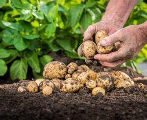 pomme de terre plantation culture recolte et maladies
