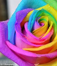 Beautiful Rainbow Rose Flowers