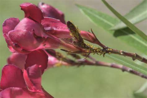 oleander ähnliche pflanzen oleander nerium oleander pflanzen pflegen mein sch 246 ner garten