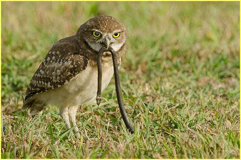 what do owls eat burrowing owl eating pictures to pin on pinterest pinsdaddy