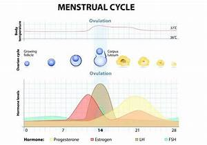 Menstrual Cycle Phases Hormones