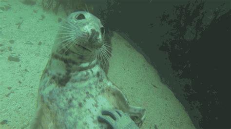 white wolf underwater seals love  belly rub    video