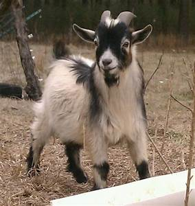 Pin by Catharine Webb on Future Pets Pinterest Goats