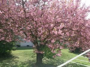 Baum Mit Blüten : vanilleherz und mandarinenduft rosa bl hender baum ~ Frokenaadalensverden.com Haus und Dekorationen