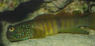 blue spot watchman goby gobies saltwater fish