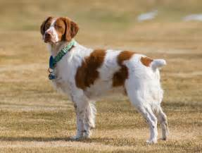 file brittany spaniel standing jpg wikimedia commons