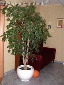 Ficus Benjamini Verliert Alle Blätter : birkenfeige ficus 39 benjamini 39 pflege schneiden verliert ~ Lizthompson.info Haus und Dekorationen