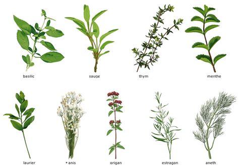 herbe aromatique cuisine herbes aromatiques