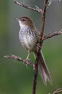 Fernbird | New Zealand Birds Online