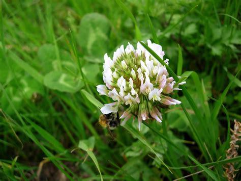 white dutch clover pawnee buttes seed