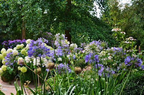 agapanthe des fleurs bleues 224 foison