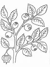 Blueberry Coloring Berries Fruits Printable Recommended sketch template
