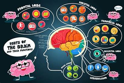Brain Science Diagram Function Structure Cartoon Human