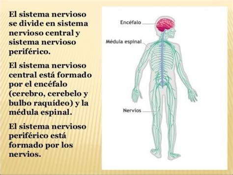 imagenes del sistema nervioso fotos dibujos ilustraciones  nombres saberimagenescom