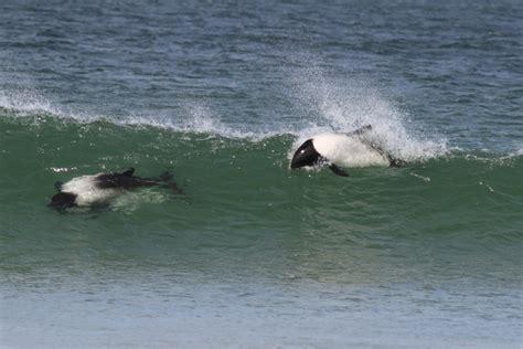 commersons dolphin ocean treasures memorial library