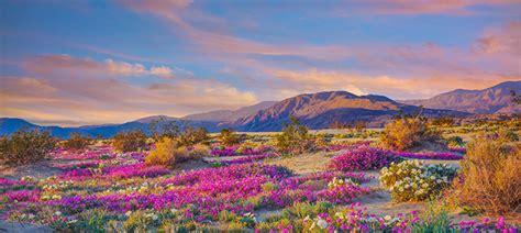 spring desert wildflowers  anza borrego desert state