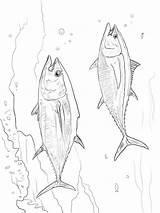 Tuna Coloring Pages Fish Printable Getcolorings Recommended sketch template