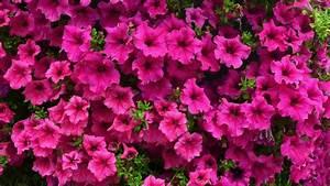 petunien pflanzen und pflegen so geht39s With französischer balkon mit pflanzen für schattigen garten