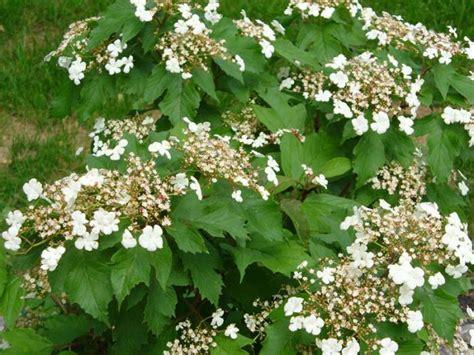arbusti ornamentali da giardino arbusti da fiore per il giardino arbusti ornamentali