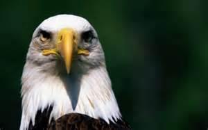 Bald Eagle White Head