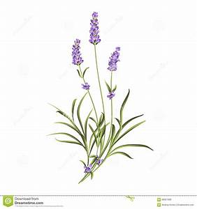 Lavender Illustration Related Keywords & Suggestions ...