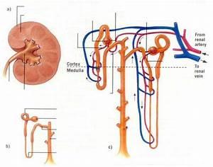 34 Nephron Diagram Quiz