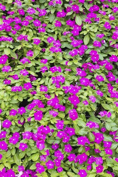 Vinca Flowers Plants Flower Care Any Landscaping