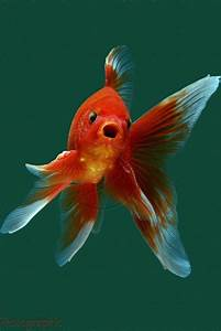 I Have A Swimming Pool Full Of Goldfish And Koi  The Pool Is Scheduled To Be Demolished And I