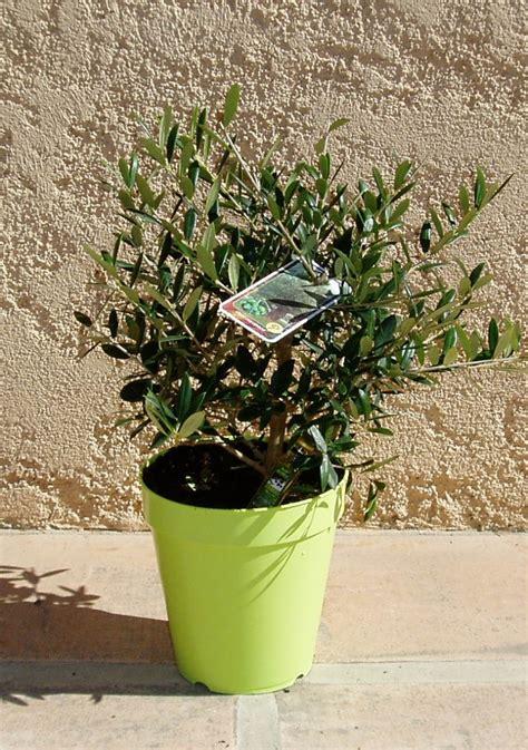 mini olivier arbustif