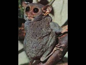 World Smallest Monkey   The Philippine Tarsier