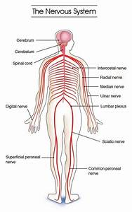 Endocrine System Diagram For Kids   Endocrine System