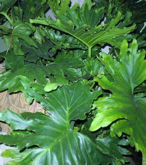 alfa img showing large leaf house plant identification