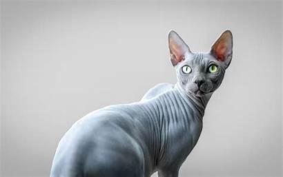 Sphynx Cat Gray Cats 4k Animals Desktop
