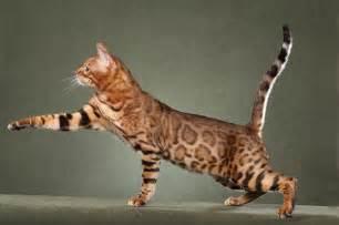 savanna cat cat purrfect cat breeds