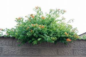 Rankpflanzen Winterhart Immergrün : kaliebes blumenhaus kletterpflanzen ~ A.2002-acura-tl-radio.info Haus und Dekorationen