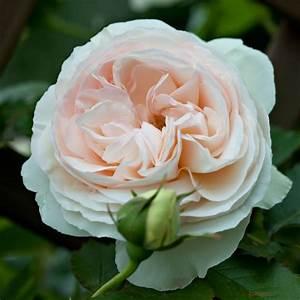 Rosier Grimpant Blanc : rosier grimpant palais royal meiviowit pot de 2l ~ Premium-room.com Idées de Décoration