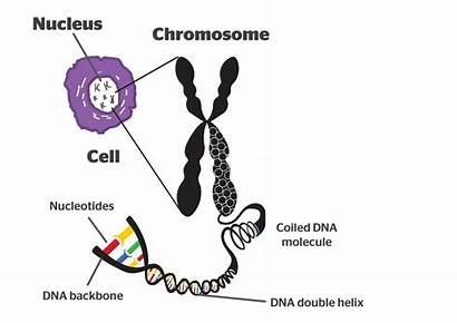 Chromosome Dna Chromosomes Cell Function Into Structures