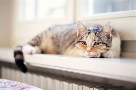 cat cats calico female down lying always cute grammar window hirondelles les prove mindblowing fact epic dual photographs stocksy windowsill