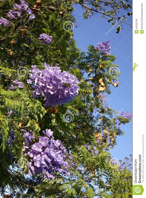 california tree with purple flowers blue jacaranda southern california stock photo image 42155129